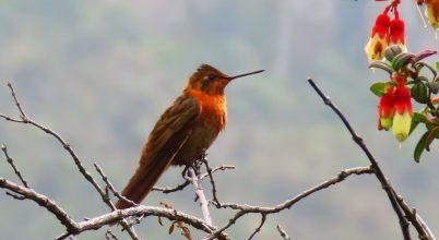 Jelentősen csökkentik a testhőmérsékletüket éjjelente a hegyi kolibrik