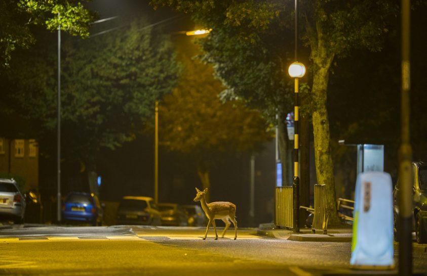 A vadvilág egyes tagjai alkalmazkodnak a városi környezethez