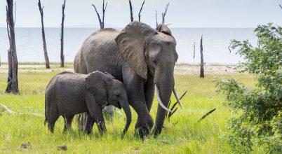 Újabb 10 elefánt tetemét találták meg Zimbabwében