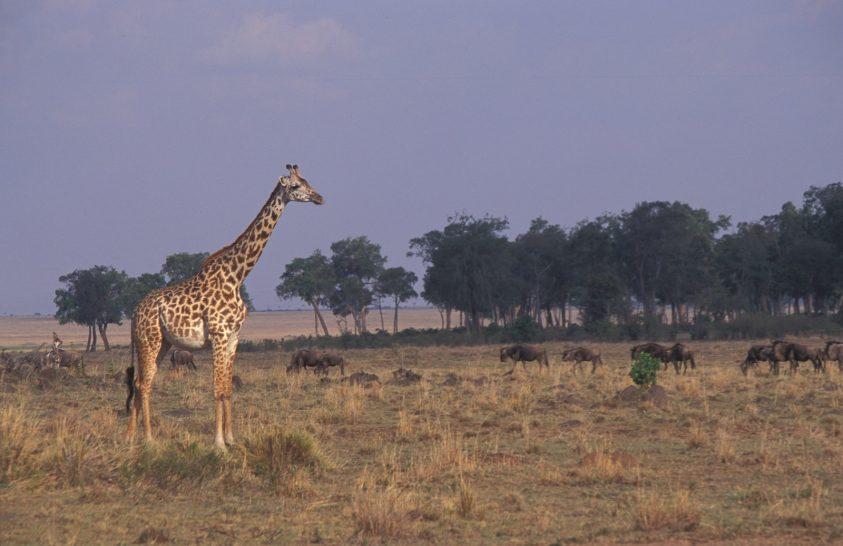 Veszélyes lehet, ha túl magasra nő a zsiráf