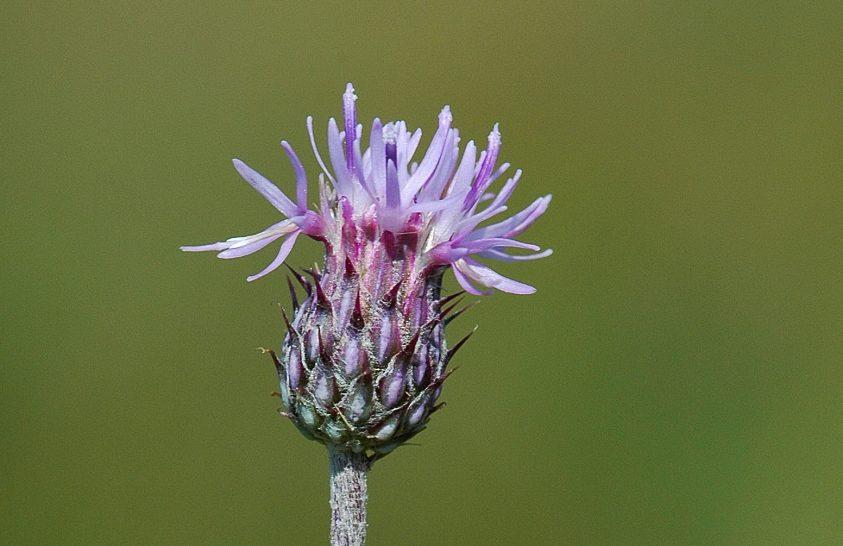 Mocsárrétek magas termetű növénye