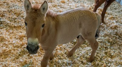 Megszületett az első klónozott vadló