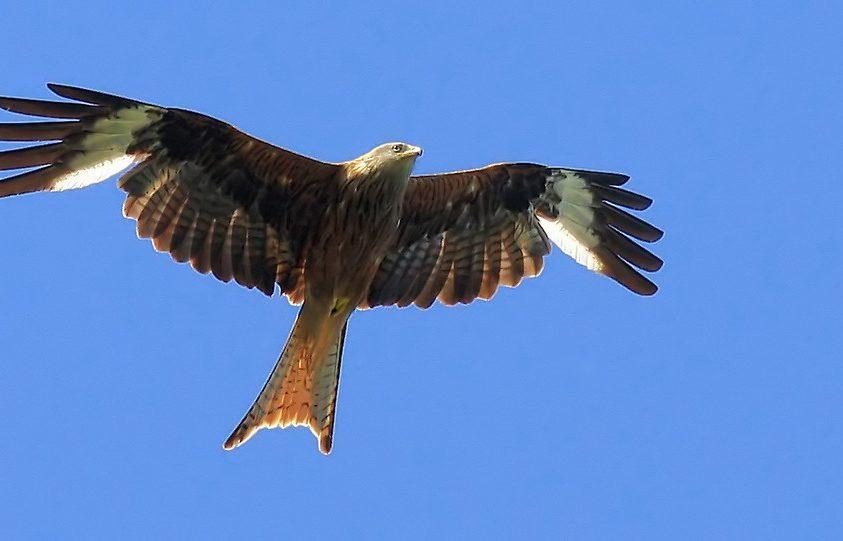 A villás farkú ragadozó madár