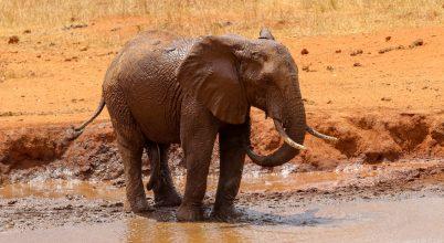 Kiderült, mi okozta a botswanai elefántpusztulást