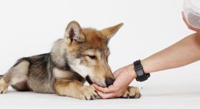 Kutyák és farkasok kezelhetőségének összehasonlítása