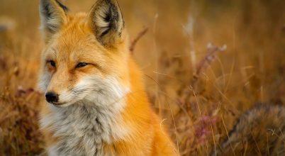 Mikor csökken az állatok ragadozókkal szembeni félelemérzete?