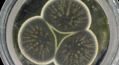 Szekvenálták Fleming eredeti penicillintermelő gombáinak genomját