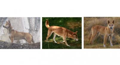 Megmenthetőek Új-Guinea éneklő kutyái