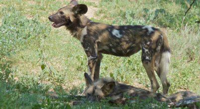 Az afrikai vadkutyák lába a kitartó futáshoz alkalmazkodott