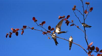 Tömegesen pusztulnak az amerikai madarak