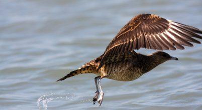 Halakat rabló madár