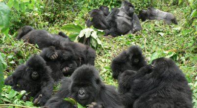 A hegyi gorilláknál létezik jó szomszédság
