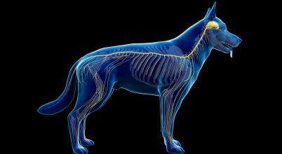 Magyar kutatók készítettek 3D-modelleket a kutyák agyáról