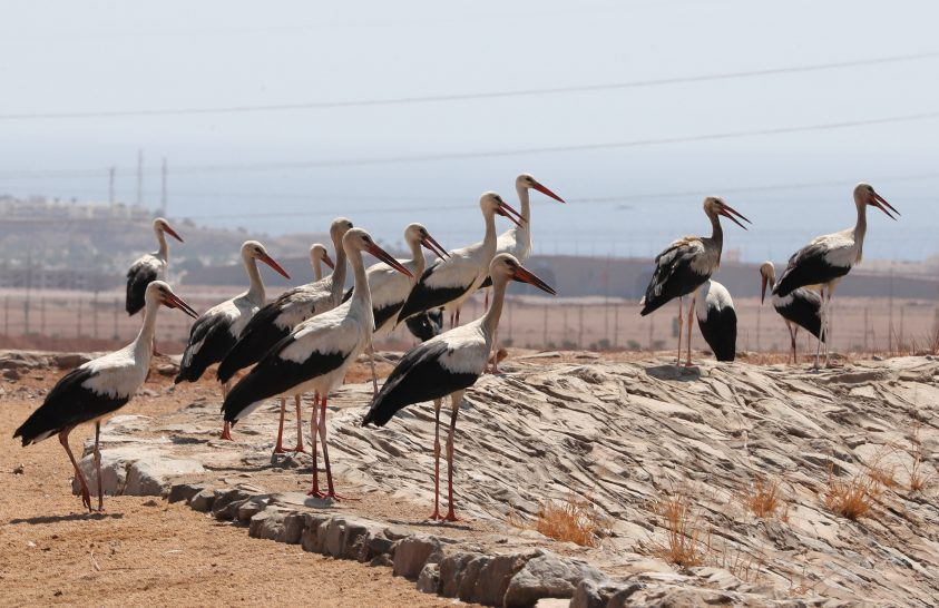 Fehér gólyák a Vörös-tenger partján