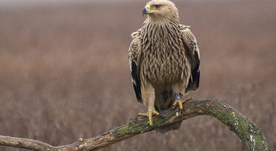 A magyar természetvédelem kiemelten fontos madara