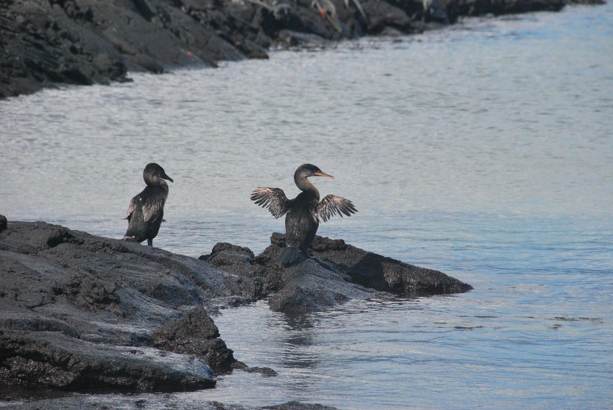 Gyarapodik a galápagosi pingvinek és kormoránok száma