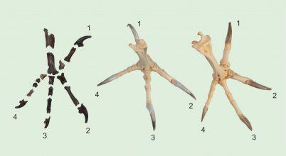 55 millió éve vadászott az ősi bagoly