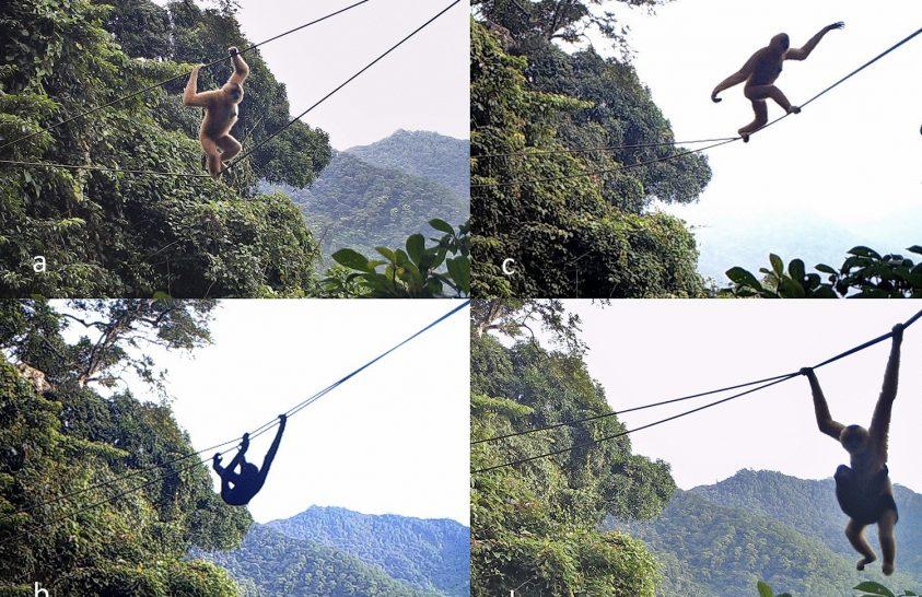 Lombkoronákat összekötő kötélhíd segíti a gibbonok mozgását