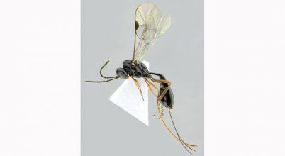 Fürkészdarazsat neveztek el a koronavírus-járványról