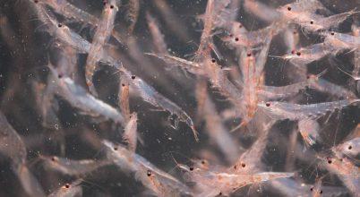 Milyen jövő vár a krillre?