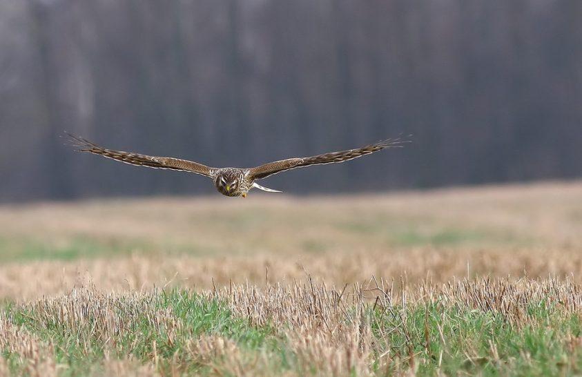 Téli madár hazánkban a kékes rétihéja