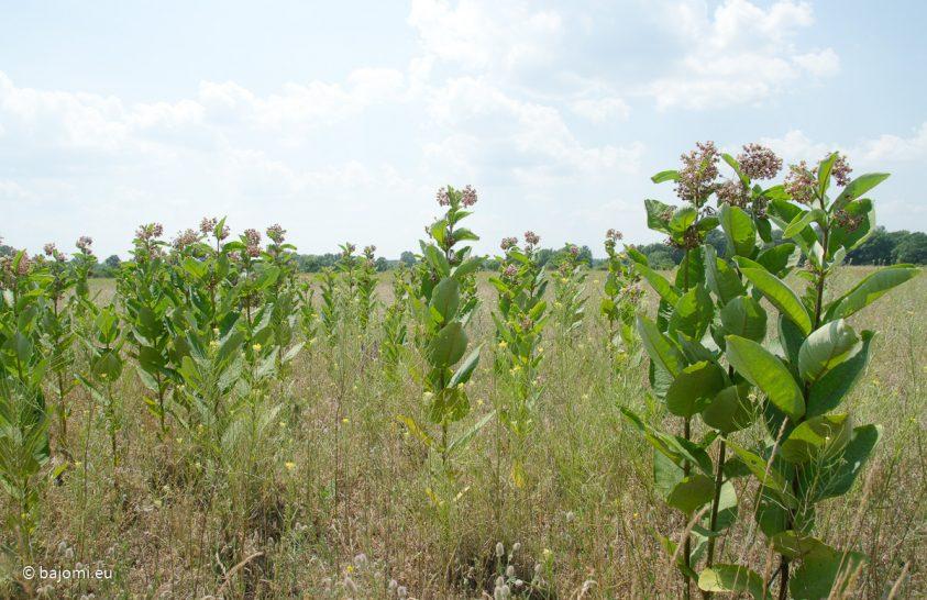 Visszaszoríthatók-e az inváziós növények talaj- és avartakarással?
