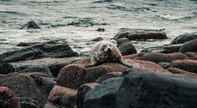 A Vadon elo foka, Duncansby Stacks, Scotland