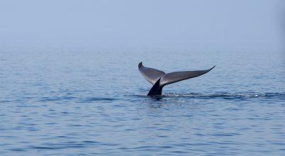 Visszatérnek a kék bálnák Déli-Georgia szigetéhez