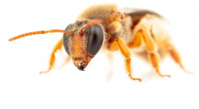 Éjszaka aktív méhfajokat találtak Ausztráliában
