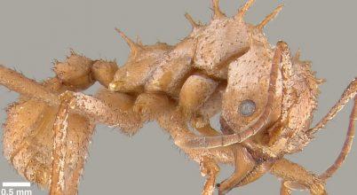 Hangyák, melyek bioásványból növesztenek páncélt