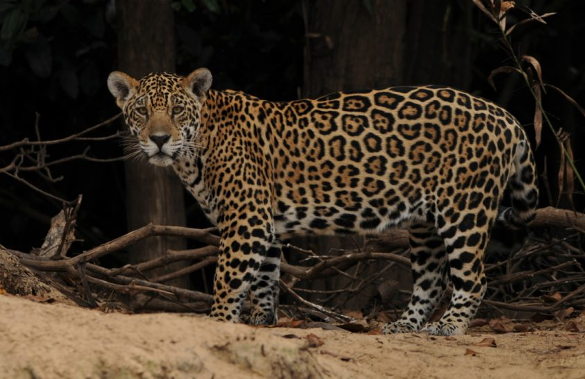 A jaguárpopuláció csökkenésének okai
