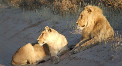 Meglátszik az emberi hatás az oroszlánok genetikai sokféleségén
