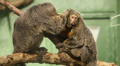Zajokkal javítható az állatkerti állatok élete