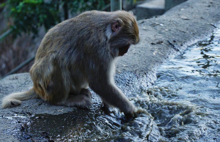 A majmok az emberhez hasonlóan sokszor nem adják föl