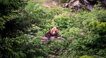 Hiúz, farkas, medve az Északi-középhegységben