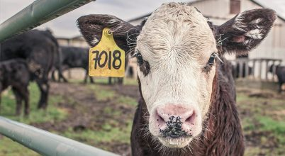 Környezetbarát az organikus hús?