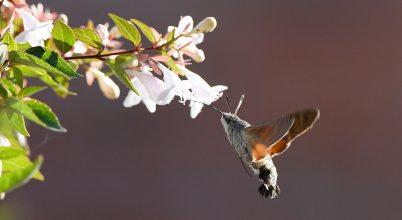 A kolibrihez hasonlóan repülő lepke lett 2021 rovara