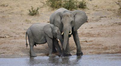 Mennyi vízre van szüksége egy elefántnak?