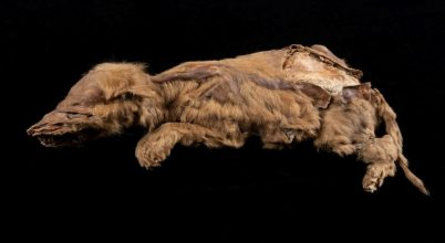 Jégkori farkaskölyök múmiájára bukkantak
