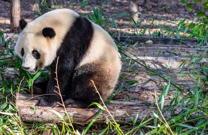 Miért hemperegnek lócitromba télen a pandák?