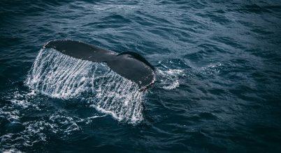 A kék bálnák új populációjára bukkantak