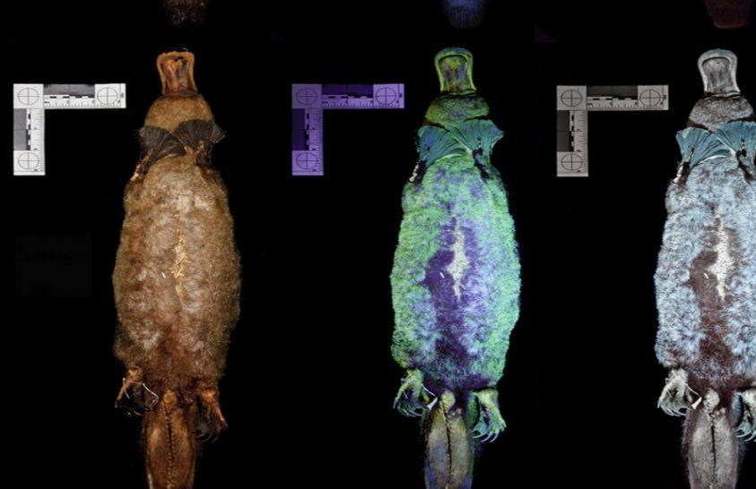 Nemrég derült ki, hogy ezek az állatok is fluoreszkálnak