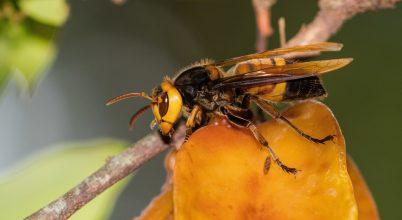 Hogyan védekeznek az indiai méhek a lódarázs ellen?