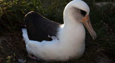 Visszatért költőhelyére a világ legidősebb albatrosza