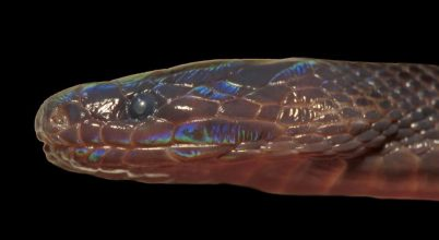 Különleges, színjátszó kígyót fedeztek fel Vietnámban