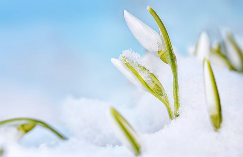 A nap képe: Hófedte nyíló hóvirágok