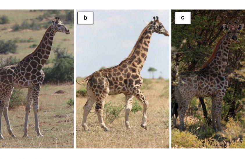 Mitől válik törpévé egy zsiráf?