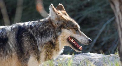 Matematikai modell segíthet az állatok védelmében