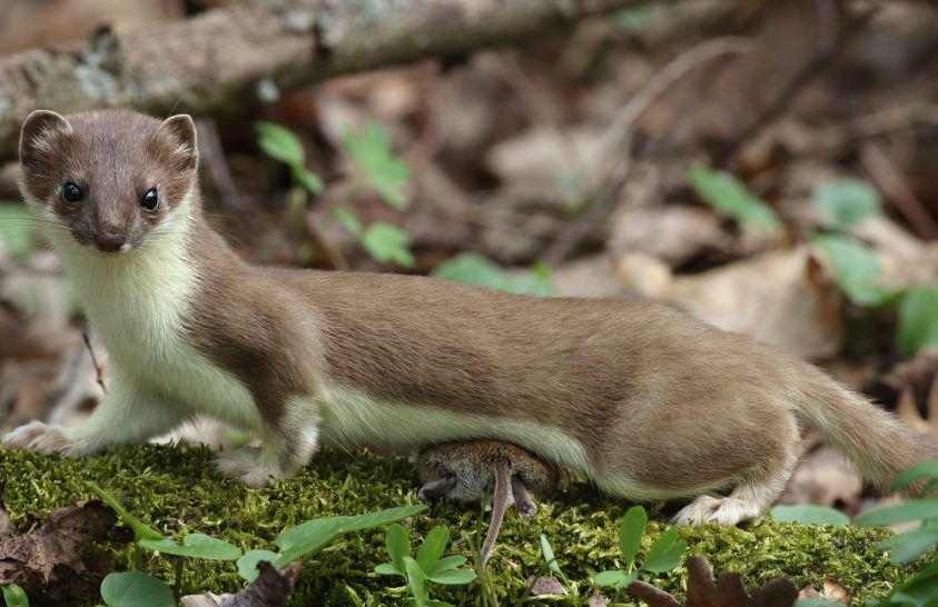 2021 emlőse a hermelin