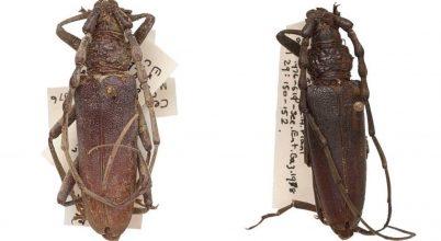 Tökéletes állapotban konzerválódott két ókori hőscincér